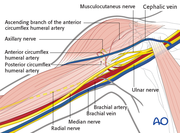 Neurovascular structures