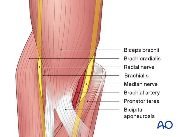 The median nerve crosses the anterior capsule of the elbow joint, running into the forearm between the two heads of the pronator teres.