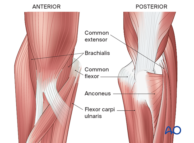 Periarticular stabilizing muscles around the elbow
