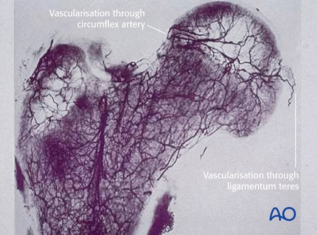 Vascularization through ligamentum teres