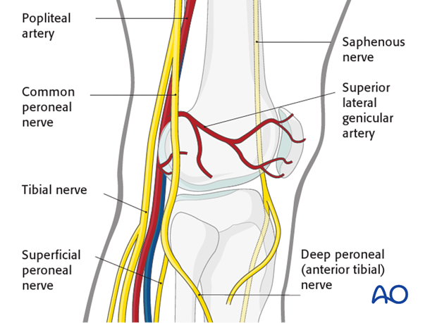 Neurovascular system around the knee