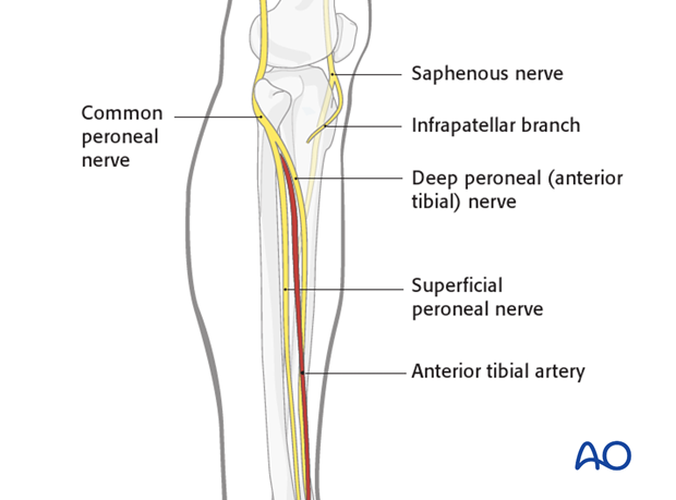 Common peroneal nerve - Saphenous nerve
