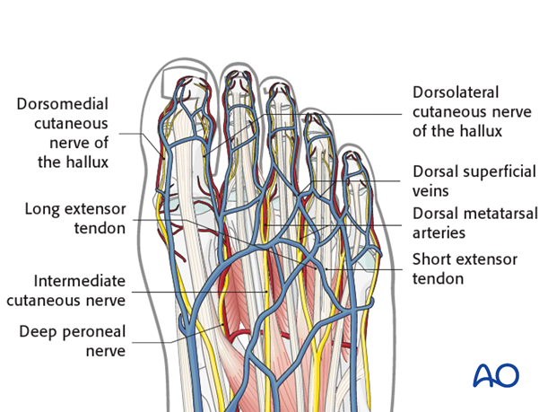 Important relevant anatomical structures when approaching this part of the anatomy are the deep peroneal nerve and its branches.|alt
