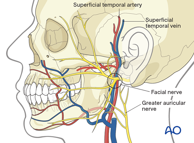 The main anatomic structures