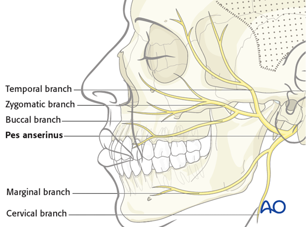 anatomy of the facial nerve