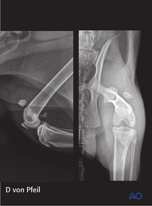 Clinical signs of patellar fracture in a cat