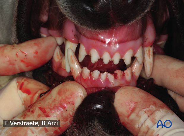 Dog mandible malocclusion assessed by palpation