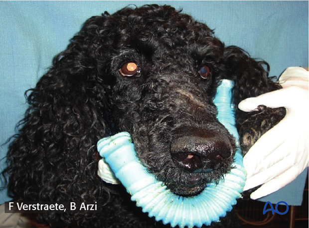 Example of external skeletal fixator with tube and dental acrylic in a dog with mandible body bilateral comminuted fracture