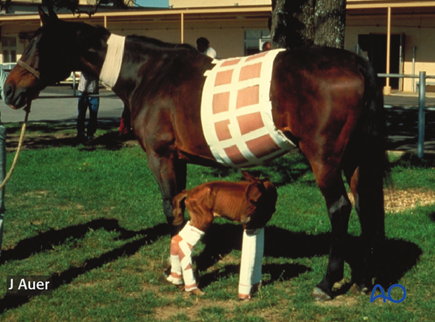 A surviving twin with all four limbs supported by splint bandages. The foal obviously looks dysmature.