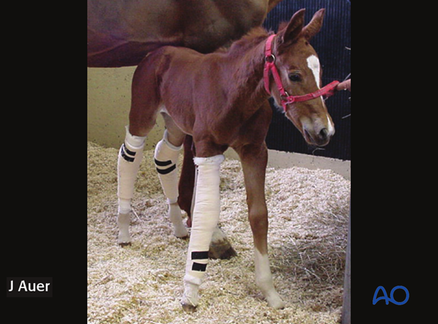 The same foal immediately following splint application.