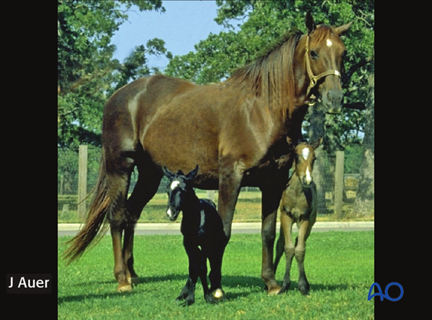 Twin foals born after a gestation period of 341 days.