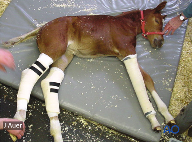 "A 2-week old foal with severe tarsal deviations colloquially termed ""wind swept"" foal."