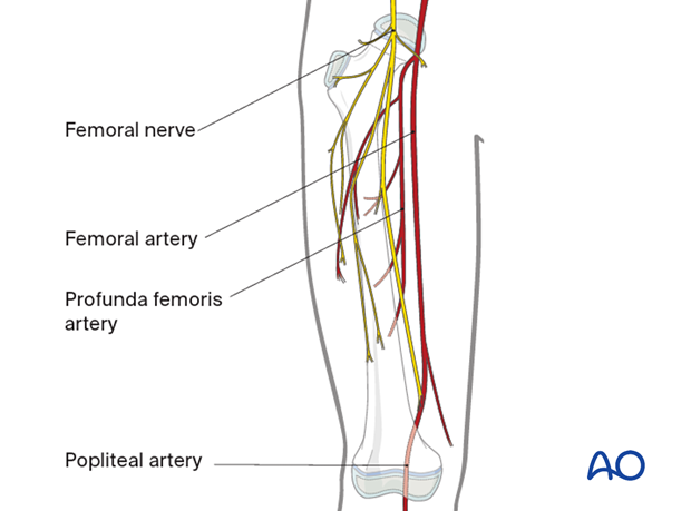 Neurovascular structures around the femur