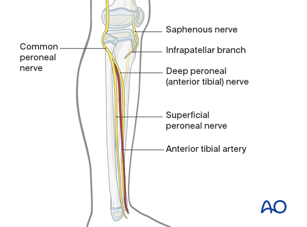 Neural structures of the lower leg