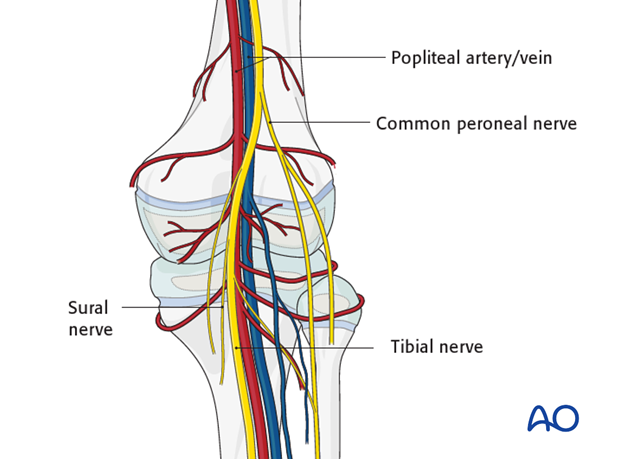 Posterior neurovascular anatomy of the knee