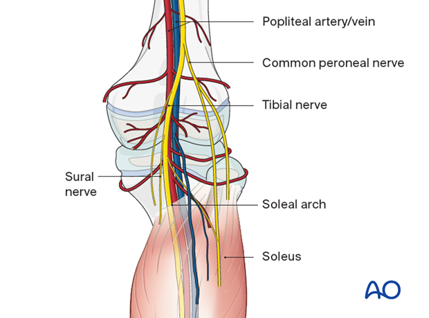 Neurovascular structures in the popliteal fossa
